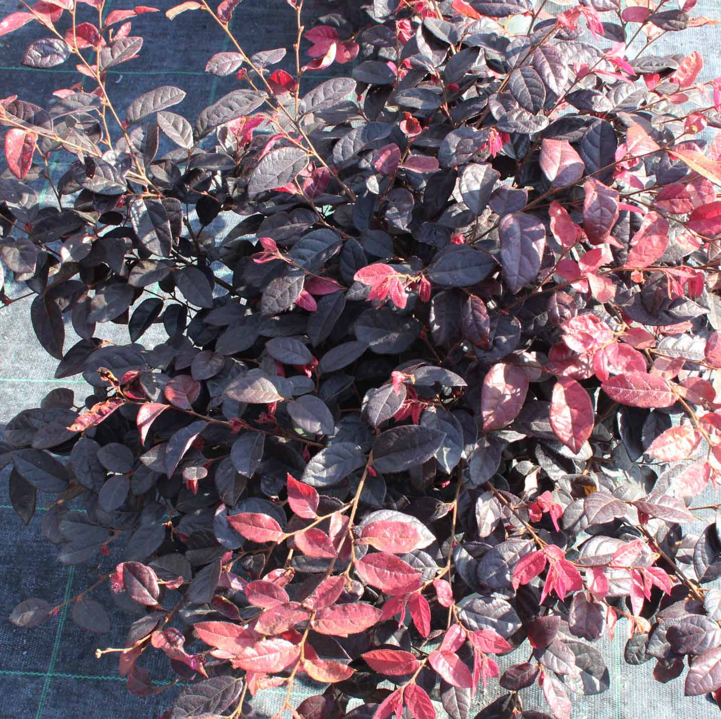 Loropetalum chinense Fire Dance 1