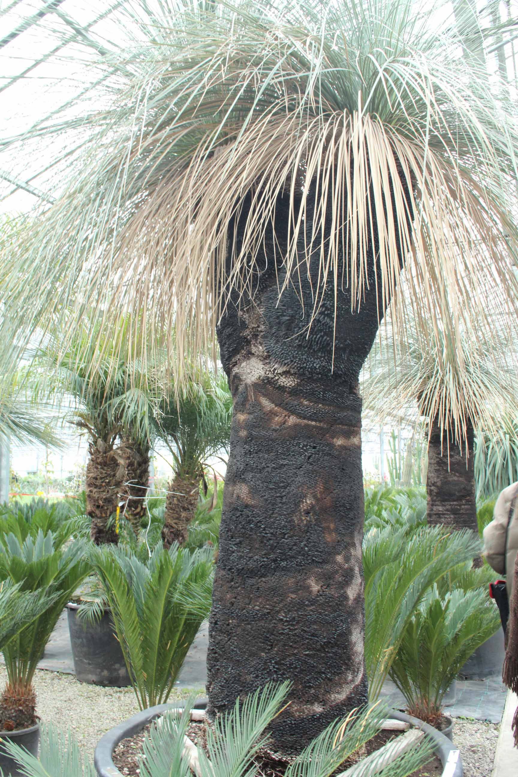 Xanthorrhoea glauca Black boy